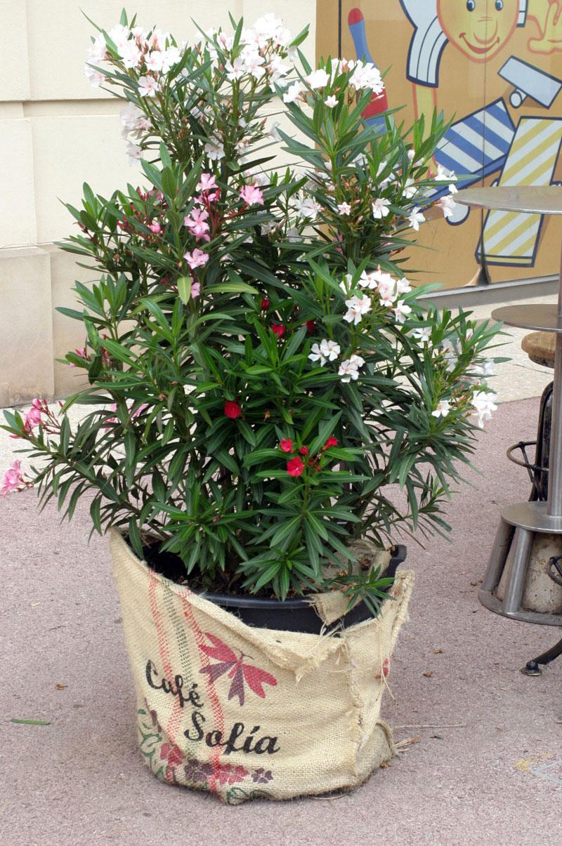 oleander-sadzony-w-worku jutowym