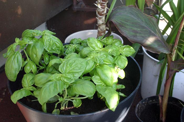 bazylinia- zioła na balkonie