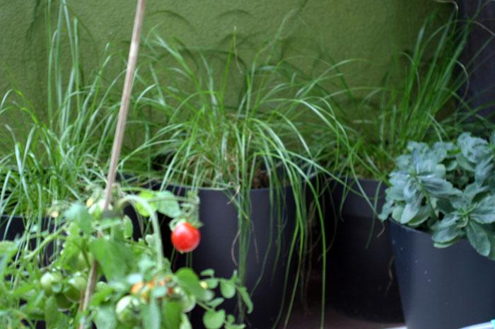 pomidor-na-balkonie