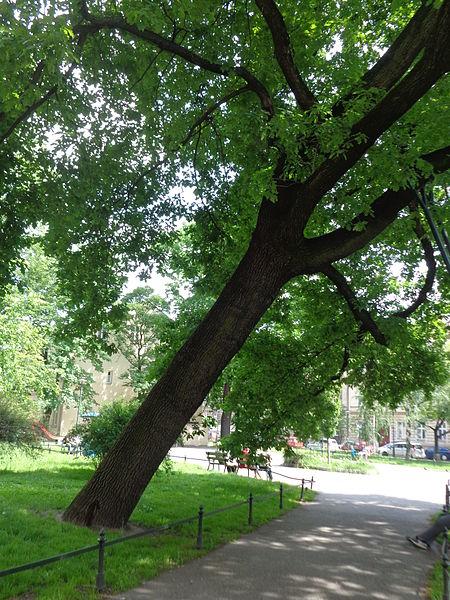 drzewo z podporami - Dąb_szypułkowy_Plac_Sikorskiego_foto_Aneta_Lazurek_01