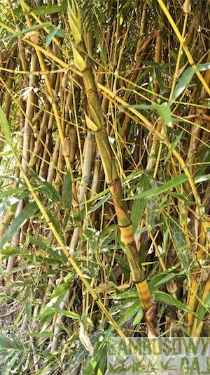 bambusy w Krakowie 2