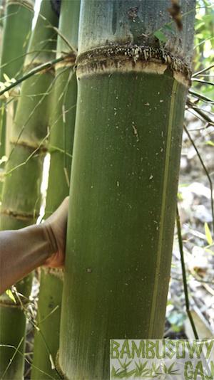 bambusy w Krakowie 3