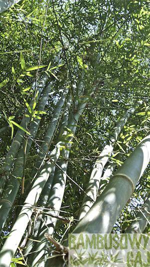 bambusy w Krakowie