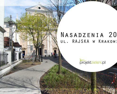 drzewa uliczne - nasadzenia przy ul. rajskiej w krakowie